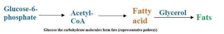 function of carbohydrates to generate fats in body