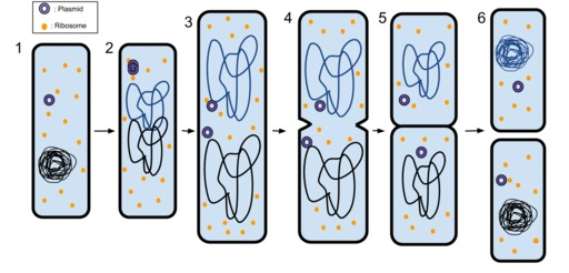 Cell Membrane Functions | in cell division