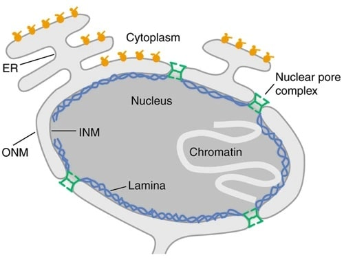 Cell Nucleus Function