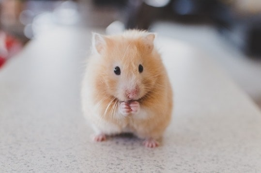 Use of Animals in Scientific Research-guinea pig