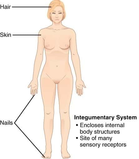 11 Organ Systems-integumentarysystem