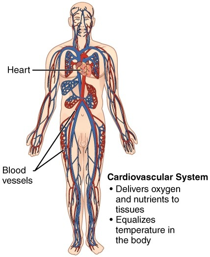 11 Organ Systems | Their Important Functions in Human Body