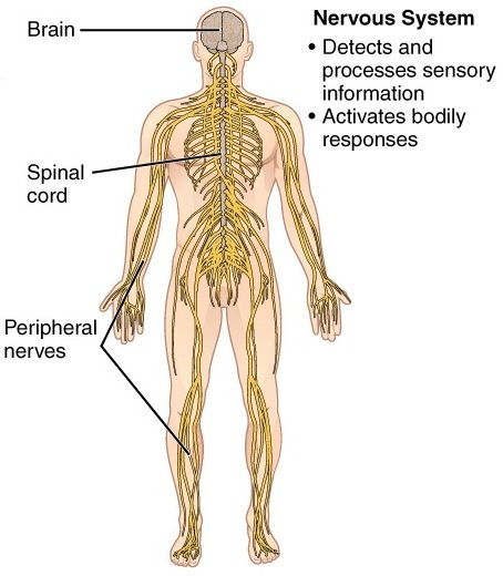11 Organ Systems-nervous system