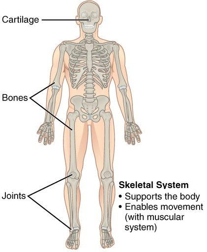 11 Organ Systems-skeletal system