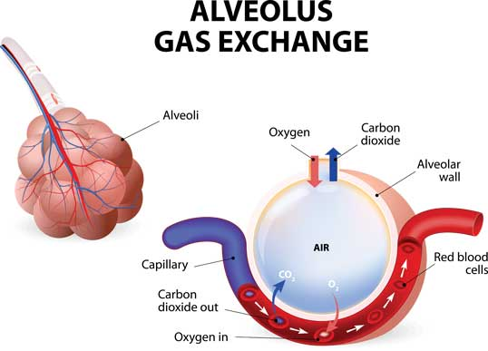 Anatomy and Physiology of Respiratory System-gaseous exchange
