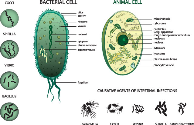 Difference Between Bacterial Cell and Human Cell