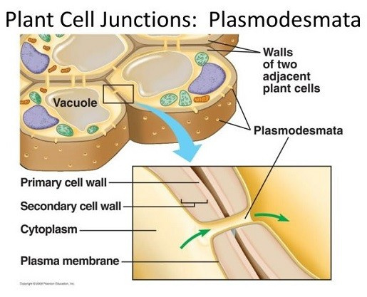 What are the Functions of the Cell Wall-plasmodesmata