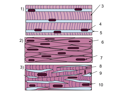 Types of tissue - Muscle Tissue