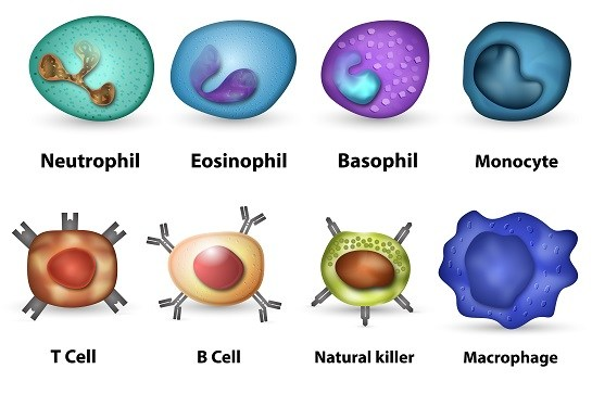 Cells of the immune system involved in body defense