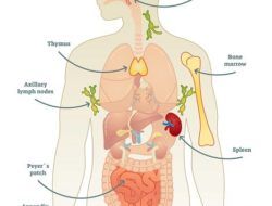 The organs of the immune system