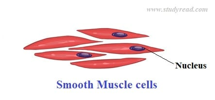 Smooth muscle_One of the types of tissues
