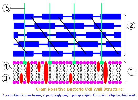 bacterial cell wall and its function