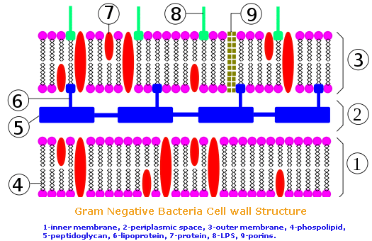 bacteria cell wall structure