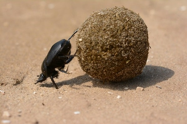 dung beetle help remove dirt