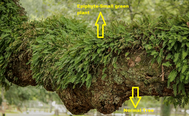 Types of Plants | Epiphyte (plant grown on another tree)