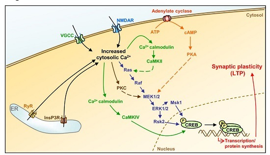Receptor mechanism one of the Calcium Uses in Everyday Life