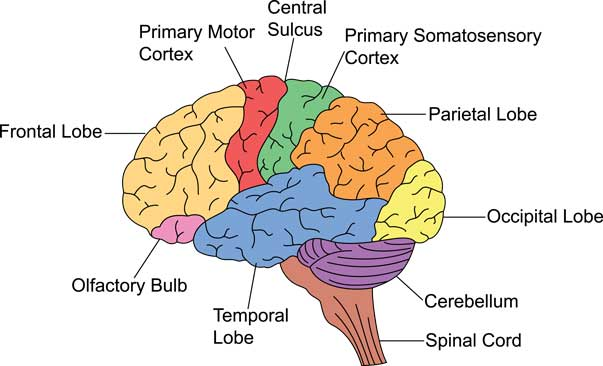 The Important Brain Parts and Functions |A Complete Guide