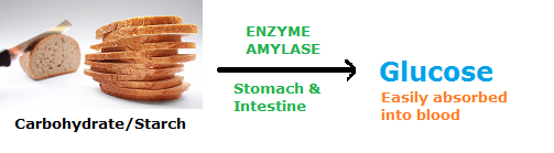 Examples of Enzymes- amylase that digests carbohydrates