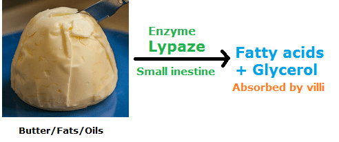 Enzyme Examples- lipase