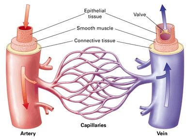 Difference Between Arteries and Veins in terms of their walls and anatomy
