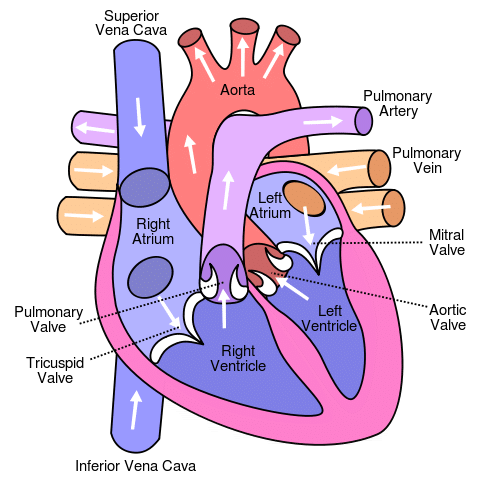 Difference Between Arteries and Veins their representation near heart