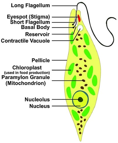 Euglena an Examples of Protozoa living in fresh water
