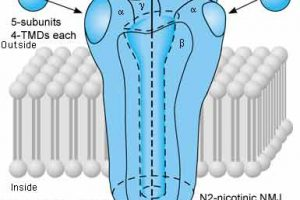 types of nicotinic receptors