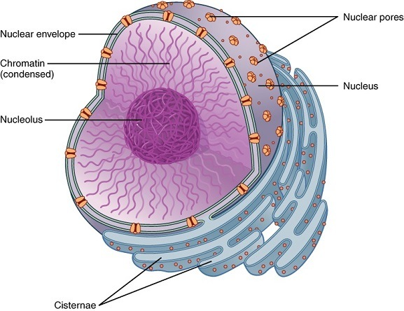 Structure of nucleus an envelope, pores, nucleolus and chromatin.