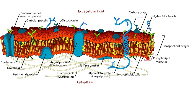 Cell membrane with lipid bilayer structure