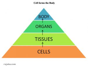 body structure layout from cells