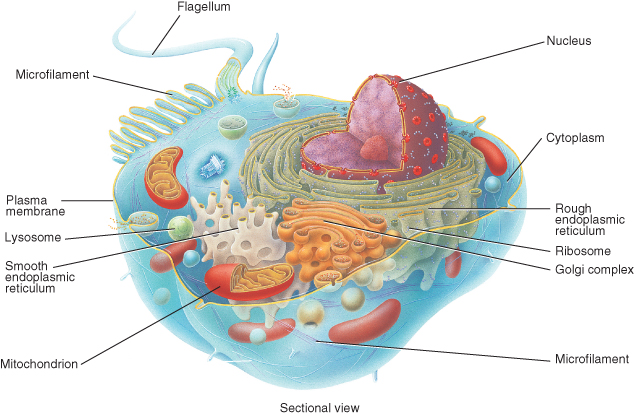 11 important cell organelles and their functions in biology cell membrane cell organelles and their functions ccuart Image collections