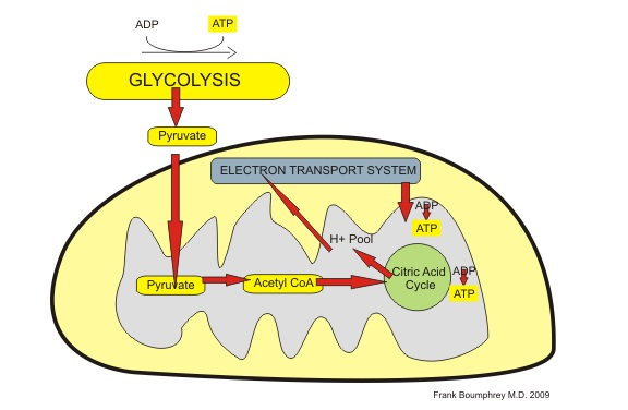 mitochondria showing respiratory cycle to generate energy (ATP)