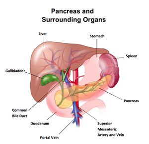 25 Major Organs of the body | A Guide on their locations and Functions