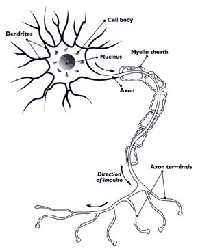 nerve cell body showing dendrites, axon and myelin sheath