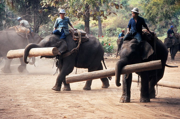 elephants carrying wood with their trunks