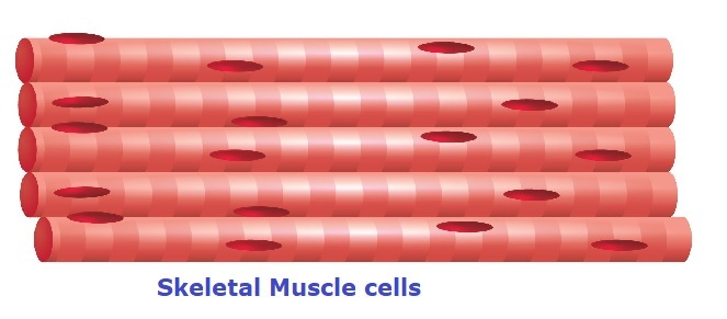 skeletal muscle cells with bands and nucleus.