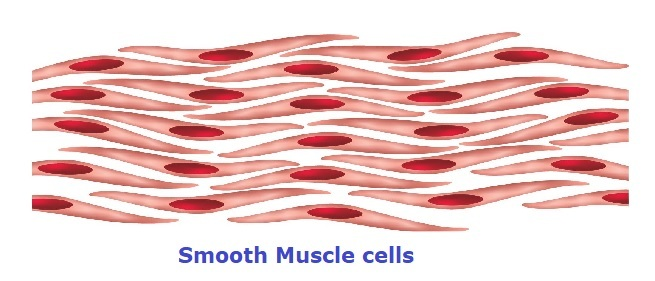smooth muscle cells with nucleus