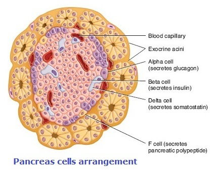 Pancreatic Cells -structure