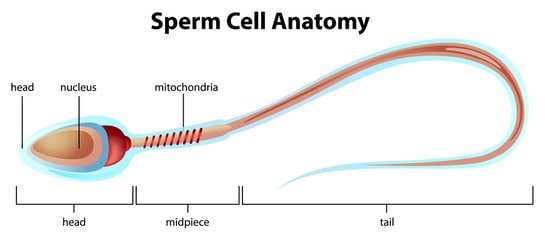 sperm cell can swim