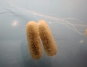 Rod shaped bacteria