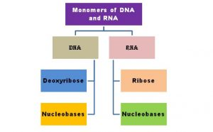 Monomers of DNA and RNA | Their Chemistry & Shape