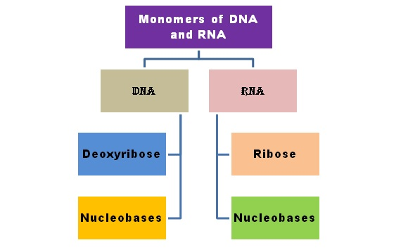 Monomers of DNA and RNA
