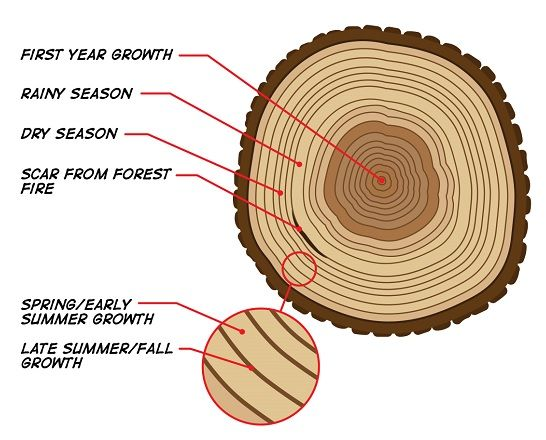 Facts about plants | Trunk rings indicate age of plant