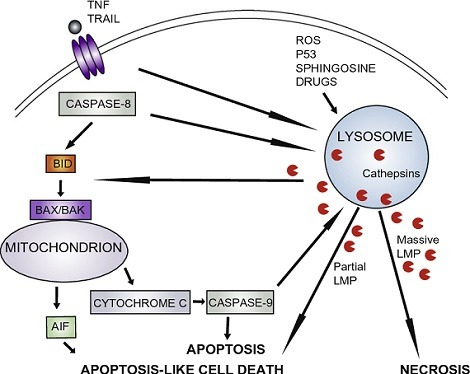 importance of lysosomes in apoptosis cell death