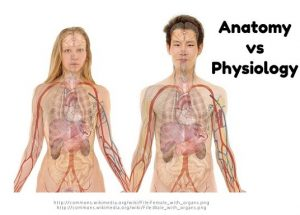 Anatomy vs Physiology | The Differences and Significance