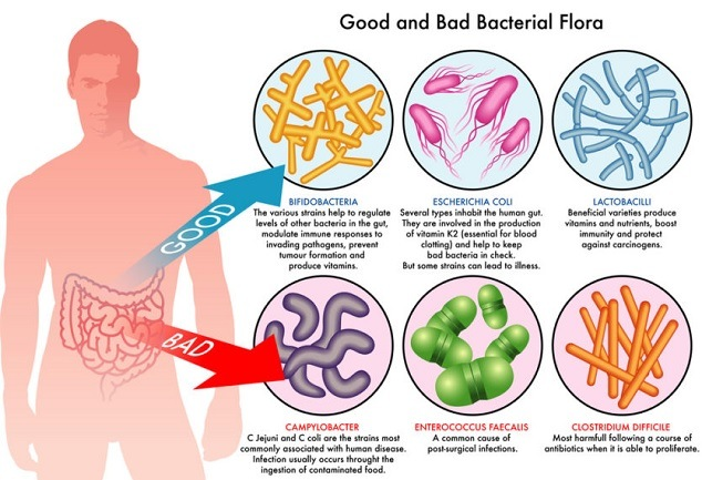 Why is the Digestive System Important-gut bacteria