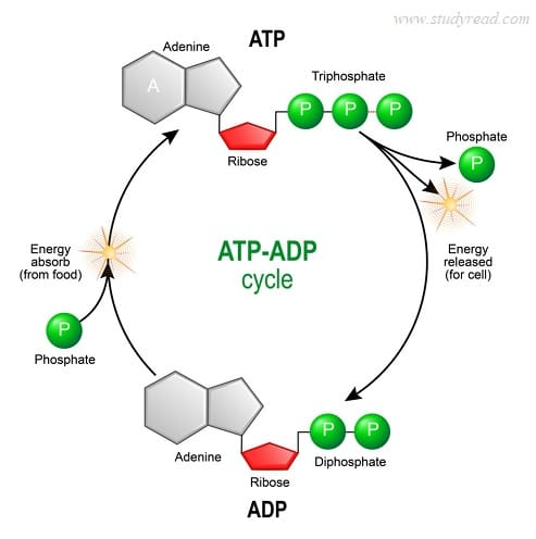 How are ATP and ADP related