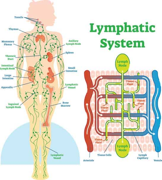 importance of lymphatic system
