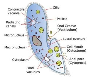 Do Unicellular Organisms have a Nucleus ? Yes and No