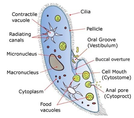 Do Unicellular Organisms have a Nucleus - paramecium